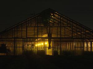 電照菊の栽培風景