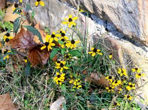 こぼれ種から発芽するルドベキア