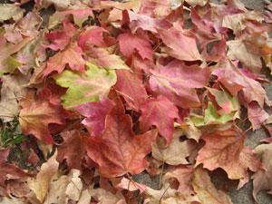 土壌に堆積した落ち葉は、やがて植物性腐食質になる