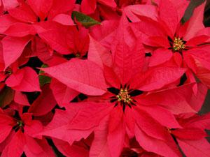 ポインセチアは、日照が12時間以下の条件で開花し、葉が赤く色づくため、日光を遮断して開花時期を調節する