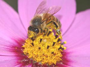 ミツバチによる虫媒授粉