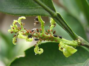 ミカンの枝とアブラムシ<br />捕殺も害虫駆除の有効な手段である