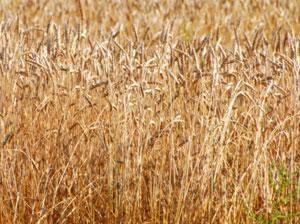 米の裏作として栽培される麦