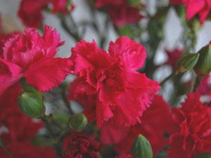 スプレー咲きのカーネーション