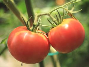 トマト等のナス科植物は連作に弱い、作付けは4~5年あける事