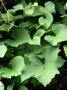生い茂る蔓植物