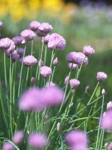セイヨウアサツキとも呼ばれるチャイブは、ネギのような芳香があり、料理の薬味に適する