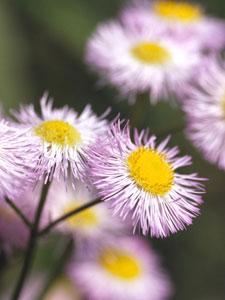 春紫苑(ハルジオン)<br />キク科ムカシヨモギ属
