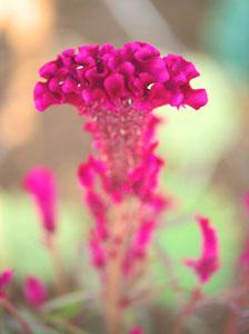 鶏のとさかに良く似た石化ケイトウの花