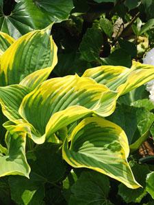 黄色い斑入りのギボウシ