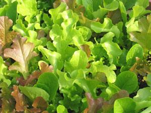 明発芽種子のレタス