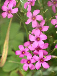 紫片喰(ムラサキカタバミ)<br />カタバミ科カタバミ属