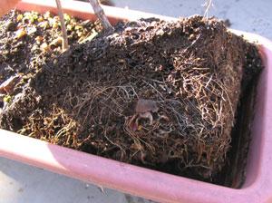 プランターで根詰まりをおこした植物