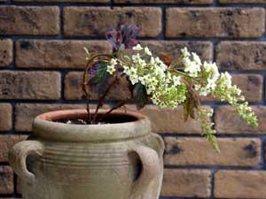 テラコッタの鉢に植えたカジワバアジサイ