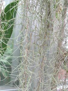チランジア・ウスネオイデスは根を持たない