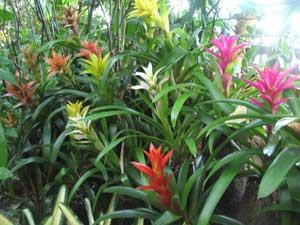 原産地では、樹木に着生するパイナップル(アナナス)科のグズマニア