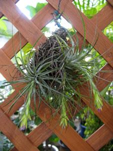 エアプランツ(チランジア科植物)の付着根