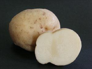 ジャガイモは、地下茎が養分を蓄えて肥大し、塊状になった塊茎と呼ばれる器官
