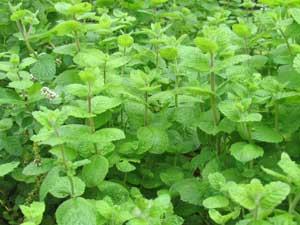 常緑多年草のミント