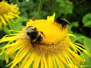 ミツバチなどの虫媒によって、自然交雑が起こることが多い
