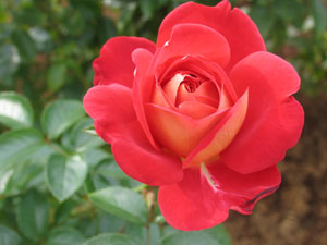 陽生植物のバラ
