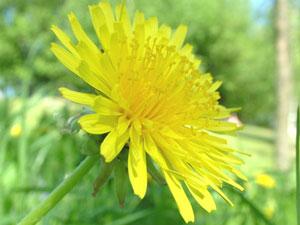 タンポポは集合花