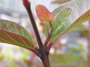 グアバの葉腋からでた側芽
