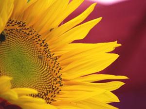 ヒマワリは頭状花