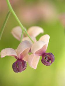 アケビの雄花