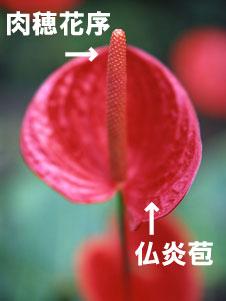 サトイモ科のアンスリウムは、美しい仏炎苞をもつ