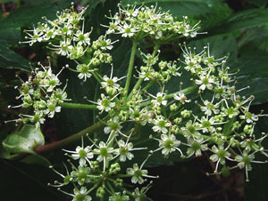 セリ科植物、アシタバの傘形花序(さんけいかじょ)