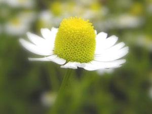 花の中心部、花床が盛り上がったカモミール