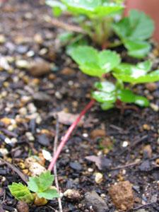 イチゴのランナーは初夏に形成される