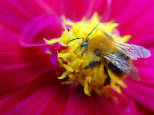 ミツバチによる虫媒受粉