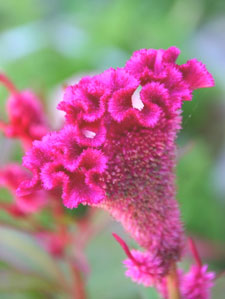 花序が帯化したケイトウ