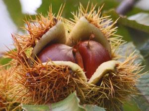 クリの果実は、熟しても裂けない閉果の一種