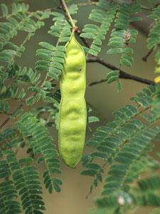 ネムノキの果実は、豆果とよばれる