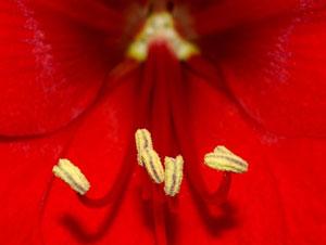 雄蕊は、葯(やく)と花糸(かし)からなる