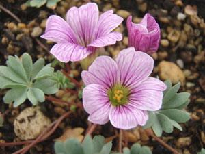 オキザリスの花弁には、葉脈の名残のスジが見られる