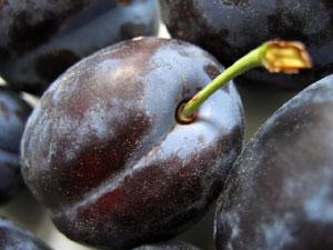 中果皮に柔らかな果肉と豊富な果汁を含んだプルーンは、単果の一種、多肉果である