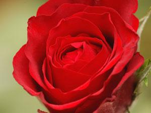 赤いバラの色素は、花青素(かせいそ)である