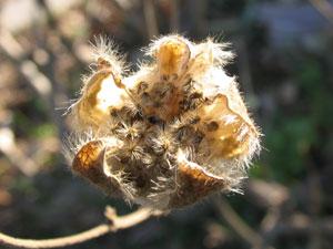 さく果は、成熟すると複数室に烈けて、種子を放出する