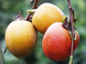 渋柿に含まれる渋味成分のタンニンには、強い殺菌効果がある