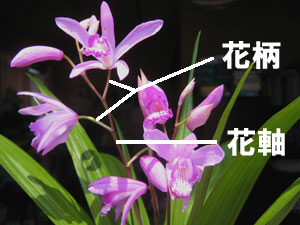 シランの花軸(かじく)と花柄(かへい)