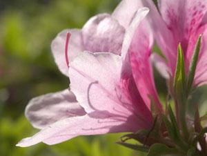 ツツジの合弁花冠