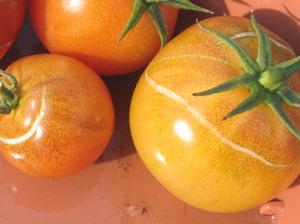 実割れしたトマト