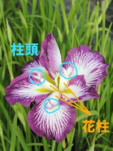 アヤメ属の花柱は、花弁状に三つに分かれている